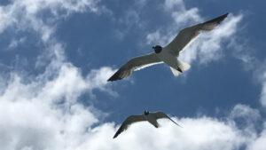 Seagulls flying